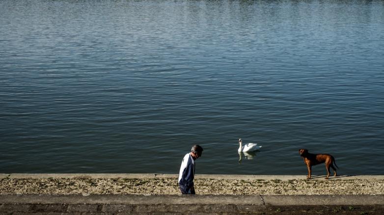 Man, swan, dog, Danube
