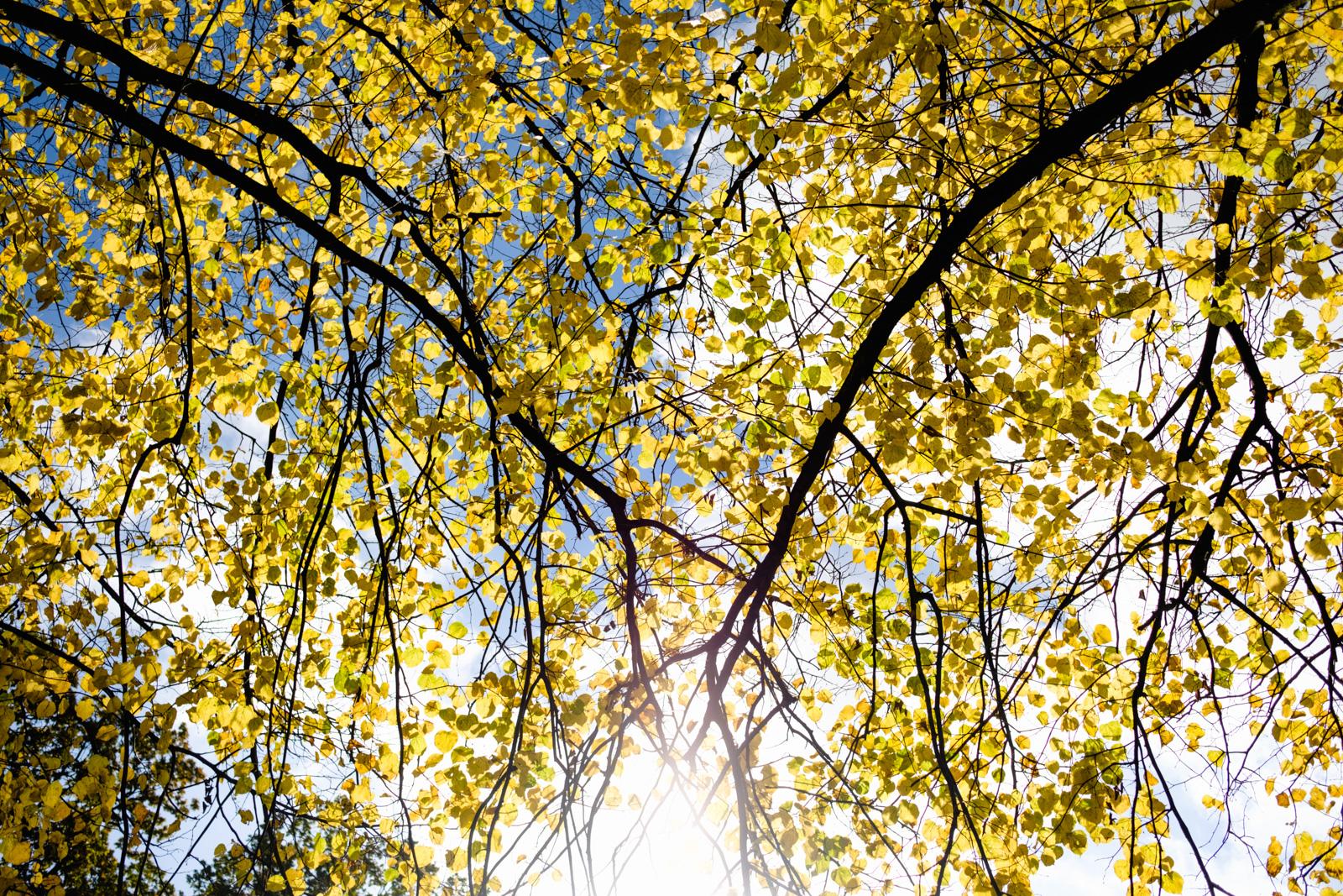 Gold leaves, gold light. Søndermarken, Copenhagen.