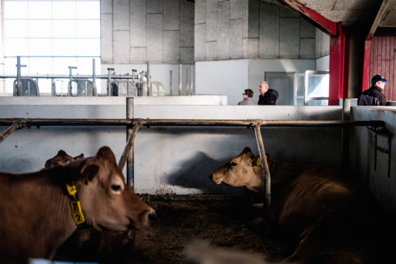 Jersey cows lie in their pens adjoining the milking carousel, where they're milked twice a day. The milk from the farm's 280 cows is stored in 5000 litre steel tanks while awaiting the daily transport by the milk companies.